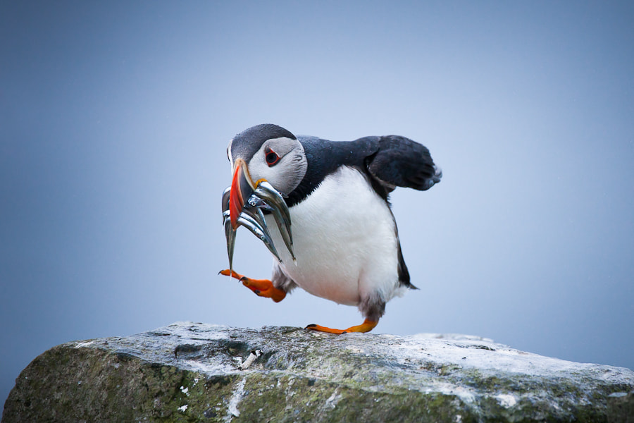 Photograph Puffin by Alessio Mesiano on 500px