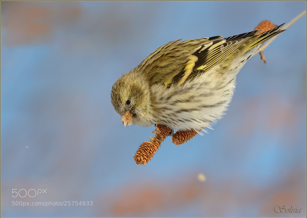 Photograph Female siskin at dinner by Anna Golubeva on 500px