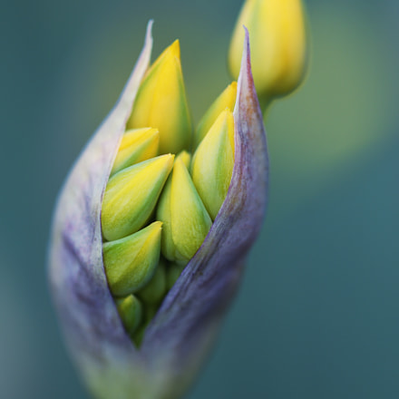 Golden Garlic, Nikon D500, AF Micro-Nikkor 200mm f/4D IF-ED