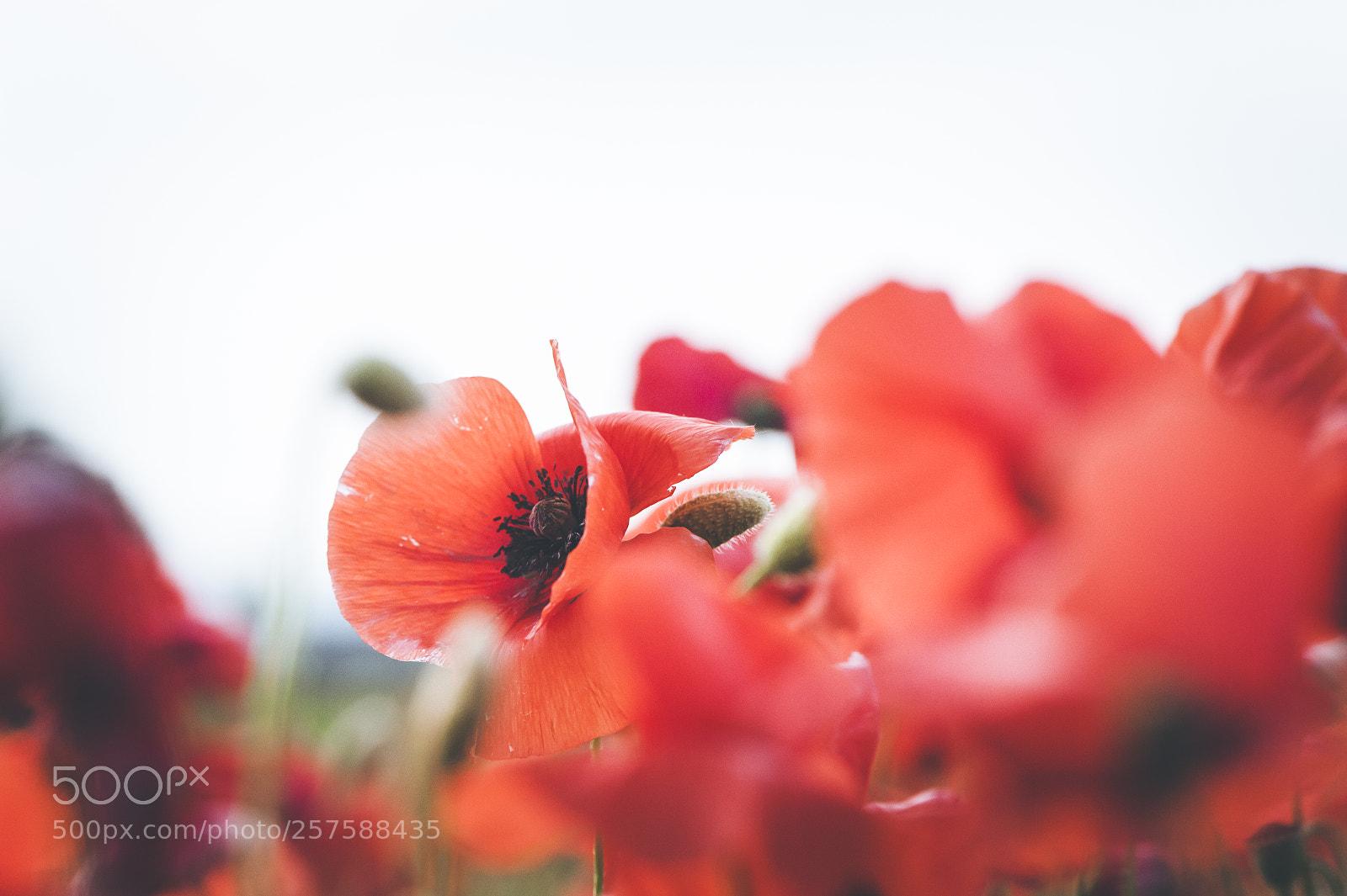 "Nikon D700 sample photo. ""Spring poppies"" photography"