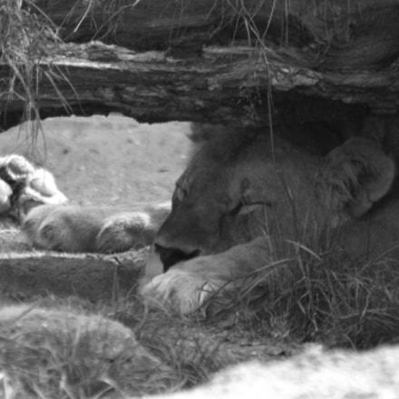Lion Queen, Canon EOS 700D, Sigma 70-300mm f/4-5.6 [APO] DG Macro