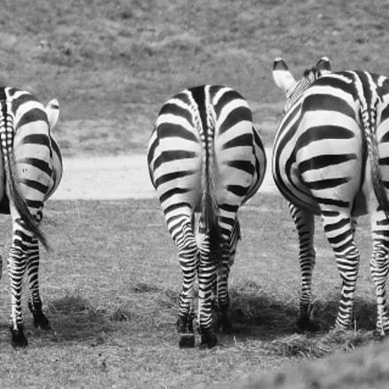 Three zebras, Nikon D5300