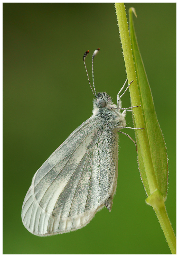 Photograph Wood White butterfly by Geoffrey Baker on 500px