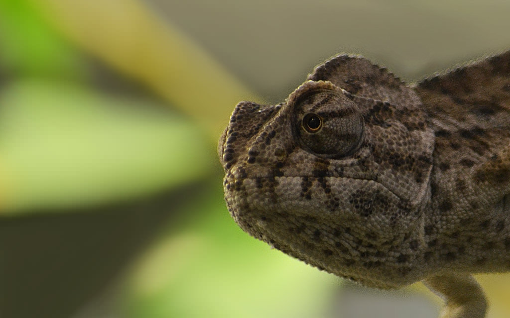 Photograph Chameleon #5 by Michel L'HUILLIER on 500px