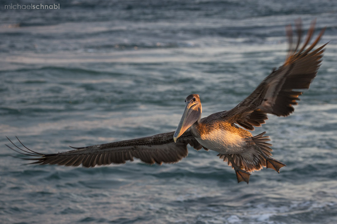 Photograph Brown Pelican by Michael Schnabl on 500px