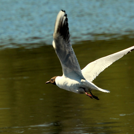 The flying seagull., Canon EOS 700D, Canon EF 70-300mm f/4.5-5.6 DO IS USM