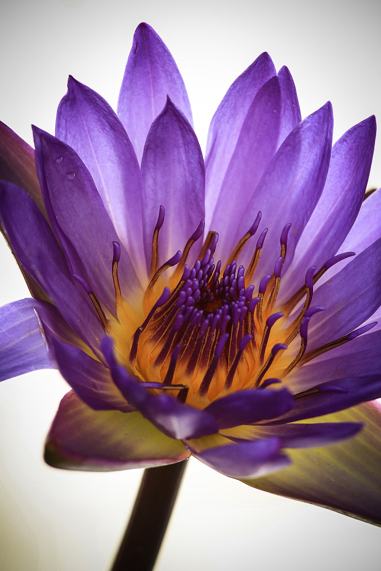 Photograph Lotus Flower by Lisa Vaz on 500px