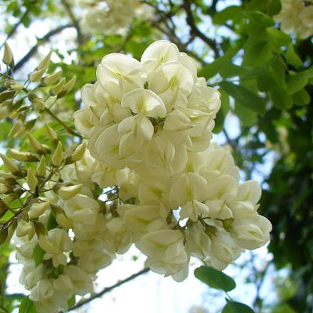 Blanc - White (Acacia), Panasonic DMC-LZ5