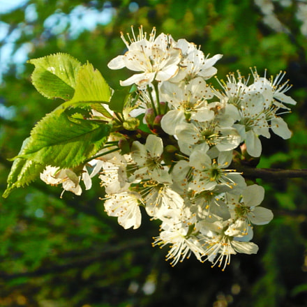 White blossoms, Panasonic DMC-LS80