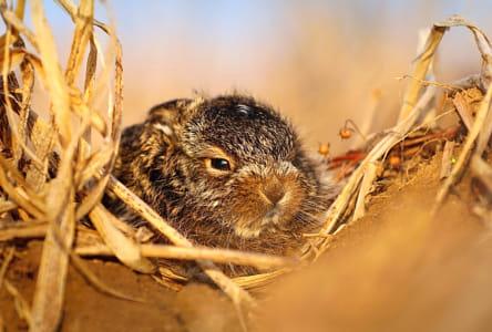 Baby hare Lepus europaeus