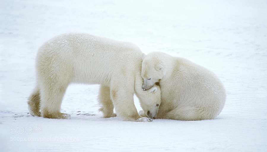Two young Polar Bears playing around on the snow covered Tundra between Churchill in the North part of the Province of Manitoba, Canada and the Hudson Bay.
