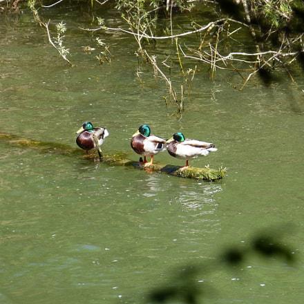 Wild Ducks - Doubs, Panasonic DMC-FZ62