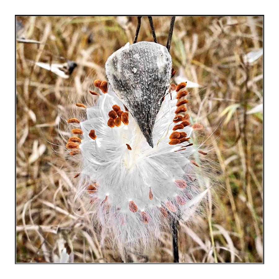 Milkweed Bird?
