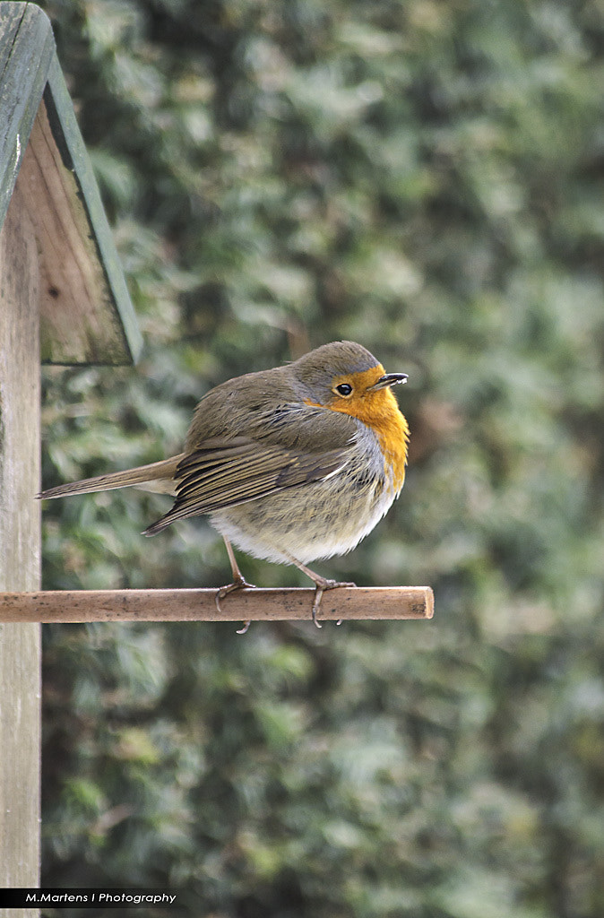 Photograph Robin by Michael Martens on 500px