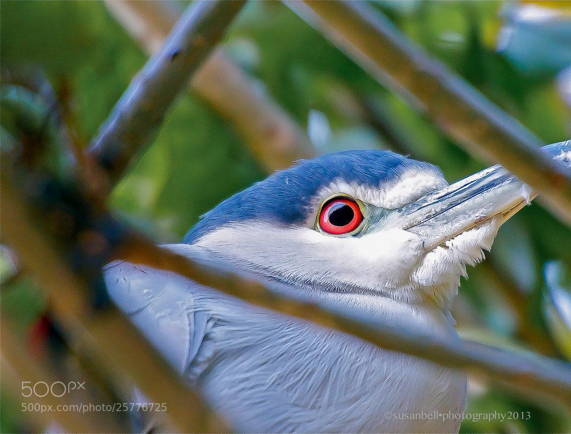 Photograph Night Heron by Susan Bell  on 500px