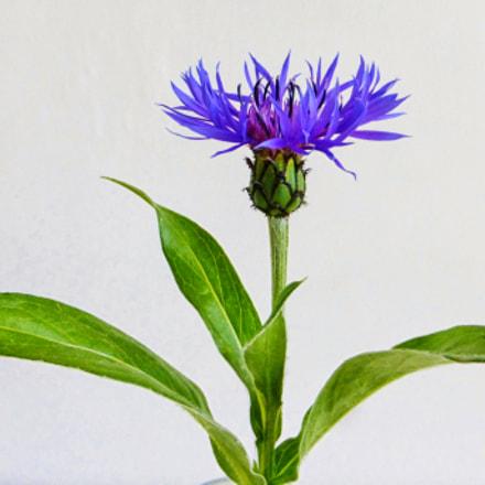 Mountain Cornflower (Centaurea montana), Panasonic DMC-TZ35