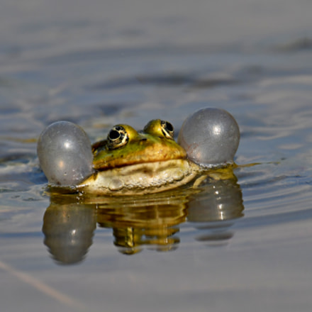 Frog, Nikon D500, AF-S VR Nikkor 600mm f/4G ED