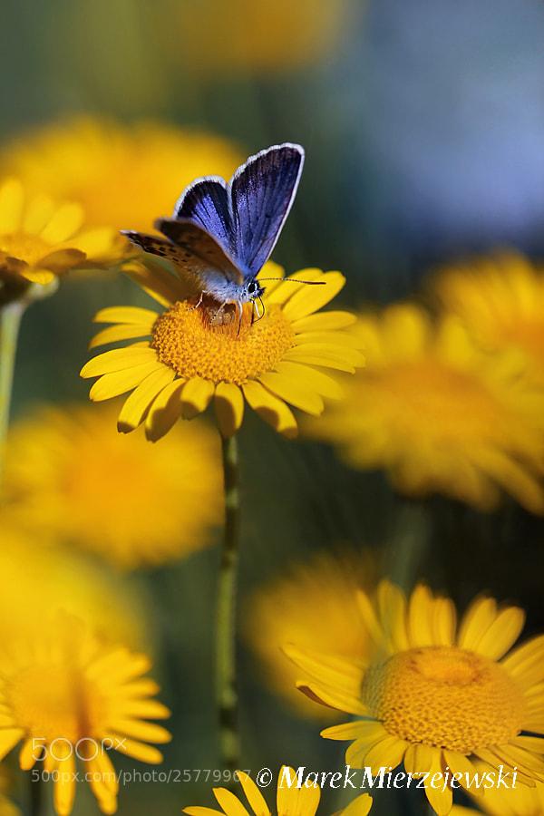 Photograph Silver-studded Blue (Plebejus argus)  by Marek Mierzejewski www.butterfly-photos.org on 500px