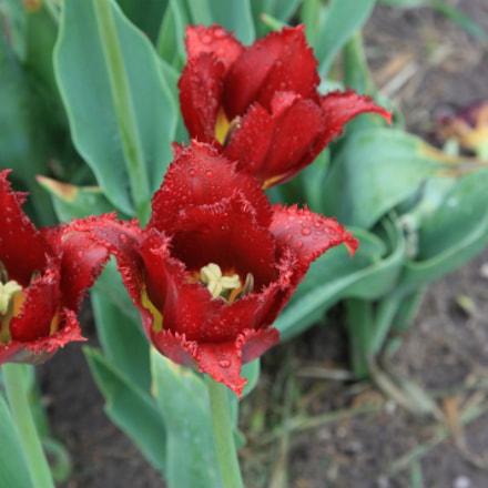 Tulips, Canon EOS DIGITAL REBEL XSI, Canon EF 24-105mm f/4L IS