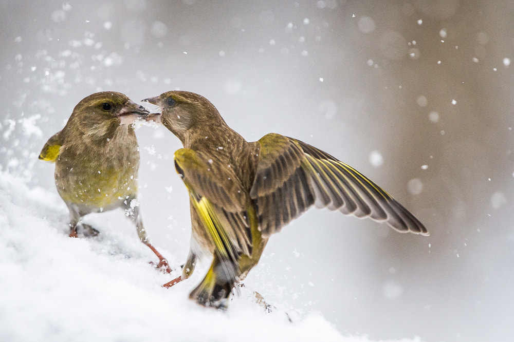 Photograph Greenfinch by Mika Linho on 500px