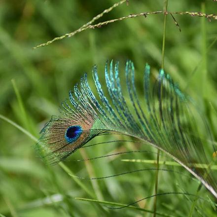 Peacock feather, Nikon D7200