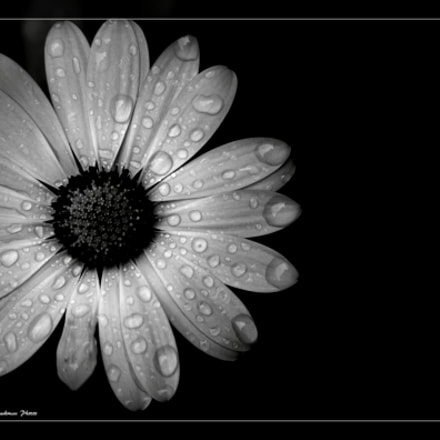 raindrops on daisy black, Canon EOS 500D, Canon EF 28-135mm f/3.5-5.6 IS