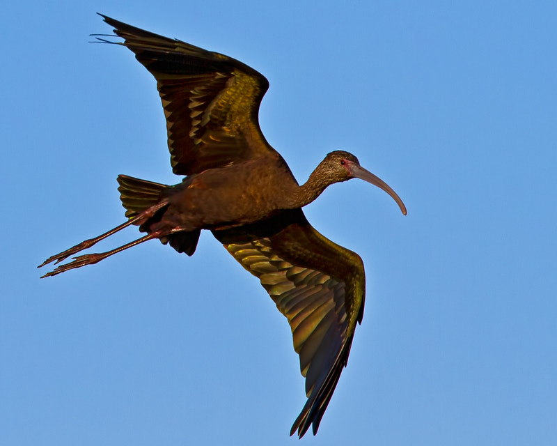 Photograph White-faced Ibis by Jon Miller on 500px