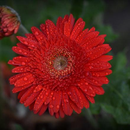 red gerbera after rainstorm, Nikon D810, Sigma APO Macro 150mm F2.8 EX DG OS HSM