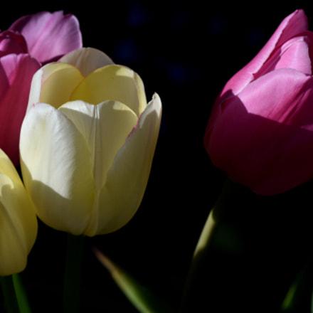 my tulips, Nikon D810, Sigma APO Macro 150mm F2.8 EX DG OS HSM