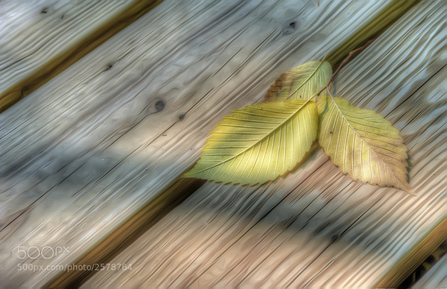 I found these 3 leaves on a boardwalk path in the Heard Natural Science Museum in McKinney, Texas.  You can purchase this photo here:  http://fineartamerica.com/featured/yellow-leaves-on-wood-scott-norris.html.