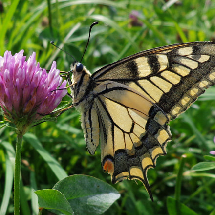 Swallowtail, swallowtail, swallowtail, Sony DSC-W690