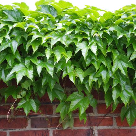Ivy, Pentax K-50