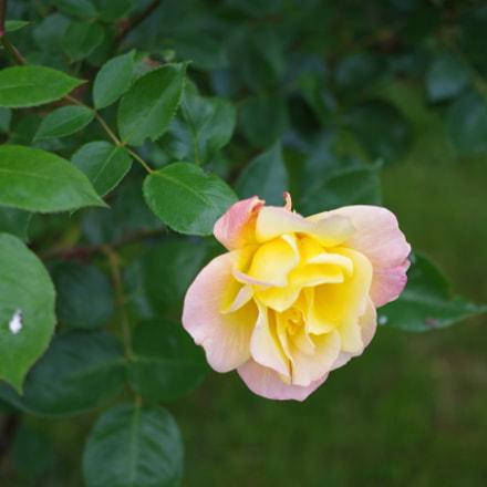 My first rose in, Pentax K-50, smc PENTAX-DA 35mm F2.4 AL