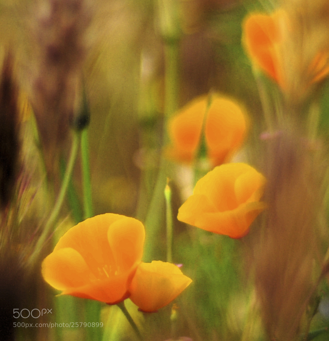 Photograph Dream Poppies by Ralph Vazquez on 500px