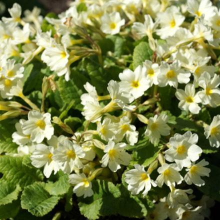 Весенние цветы., Sony NEX-5R, Sony E 18-55mm F3.5-5.6 OSS