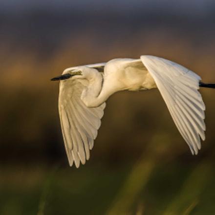 Giant Egret in flight, Nikon D810, AF-S VR Nikkor 600mm f/4G ED