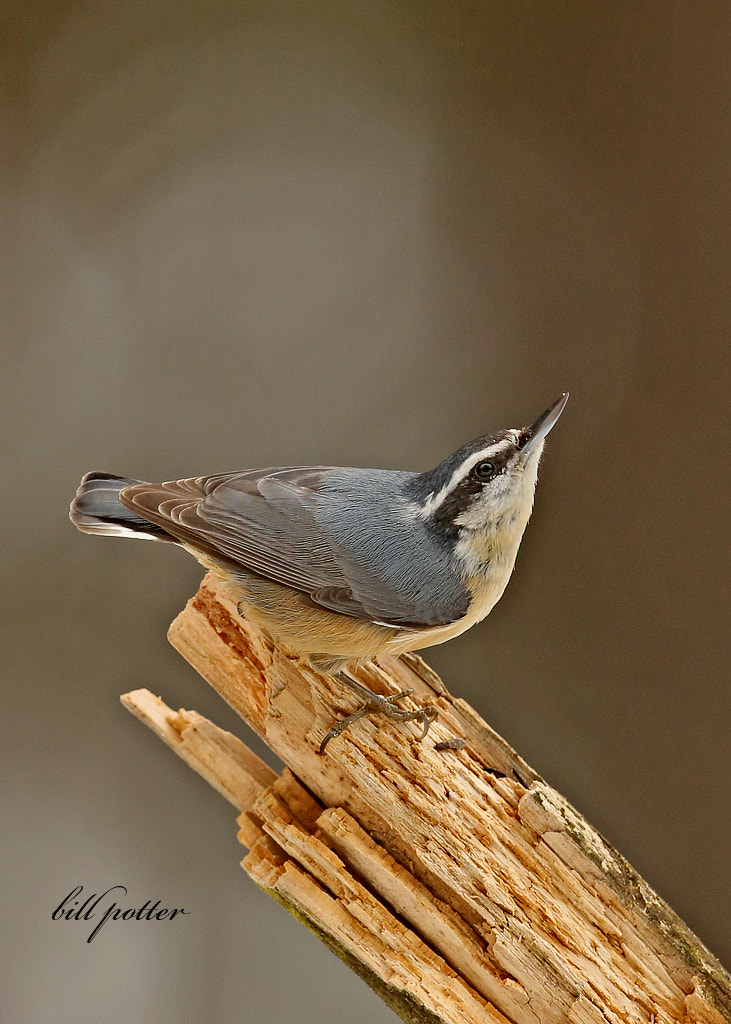 Photograph Red-breasted Nuthatch by William Potter on 500px