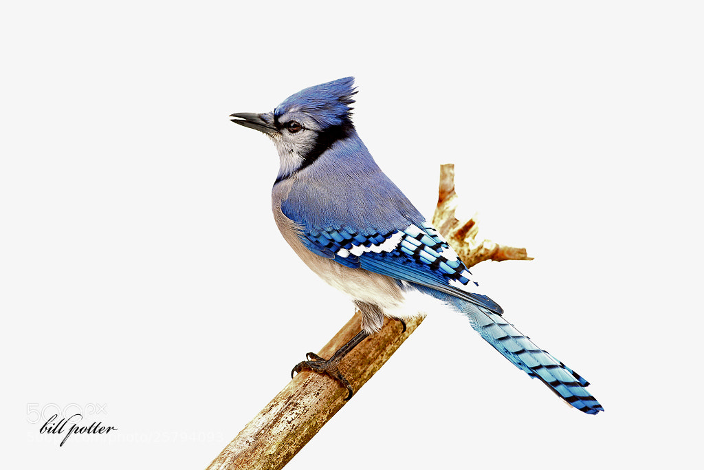 Photograph Blue Jay by William Potter on 500px