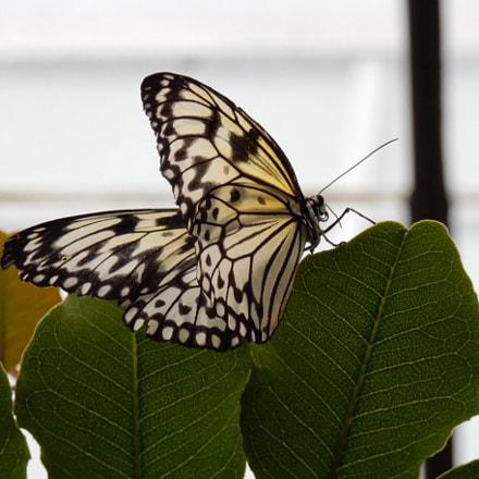 Butterfly, Nikon COOLPIX S9700