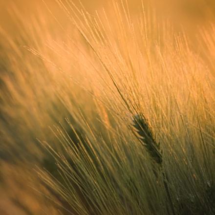Wheat, Canon EOS 1100D, Sigma 70-300mm f/4-5.6 [APO] DG Macro