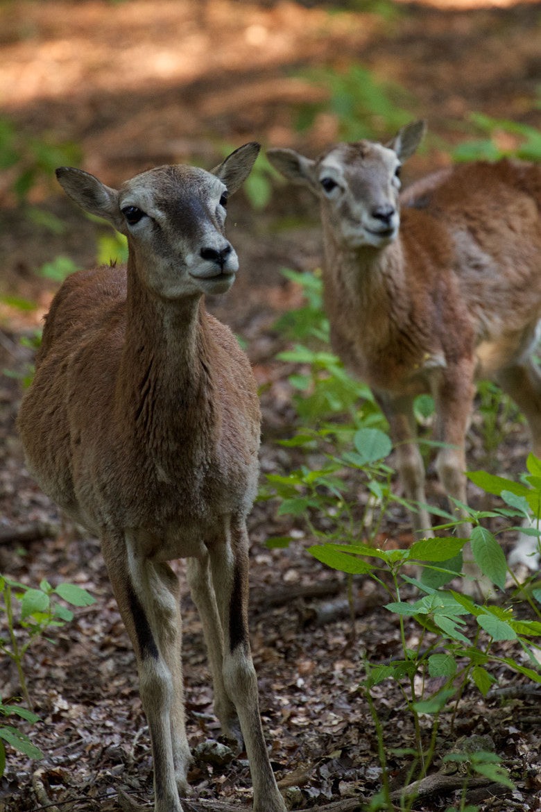 Photograph Deers by Andreas Boehrnsen on 500px