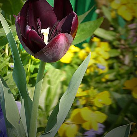 La tulipe noire, Panasonic DMC-LS60