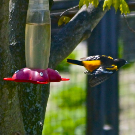 A Baltimore Oriole in, Sony SLT-A57, Sony DT 55-200mm F4-5.6 SAM (SAL55200-2)