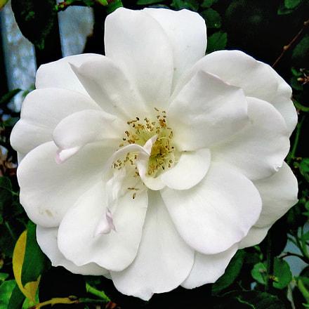 A White Carnation Flower, Canon POWERSHOT SX60 HS, 3.8 - 247.0 mm