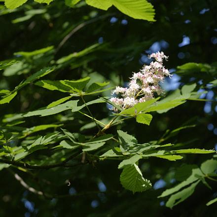 chest nut blossom, Nikon D600, AF-S Nikkor 70-200mm f/4G ED VR