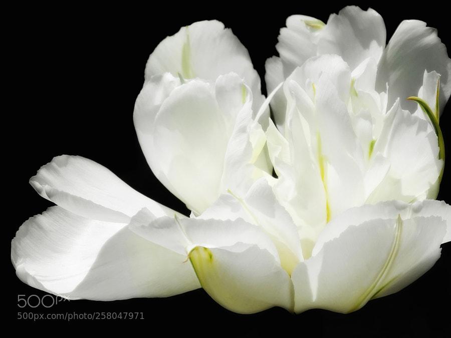 Puffy white flowers photos 500px white peony mightylinksfo