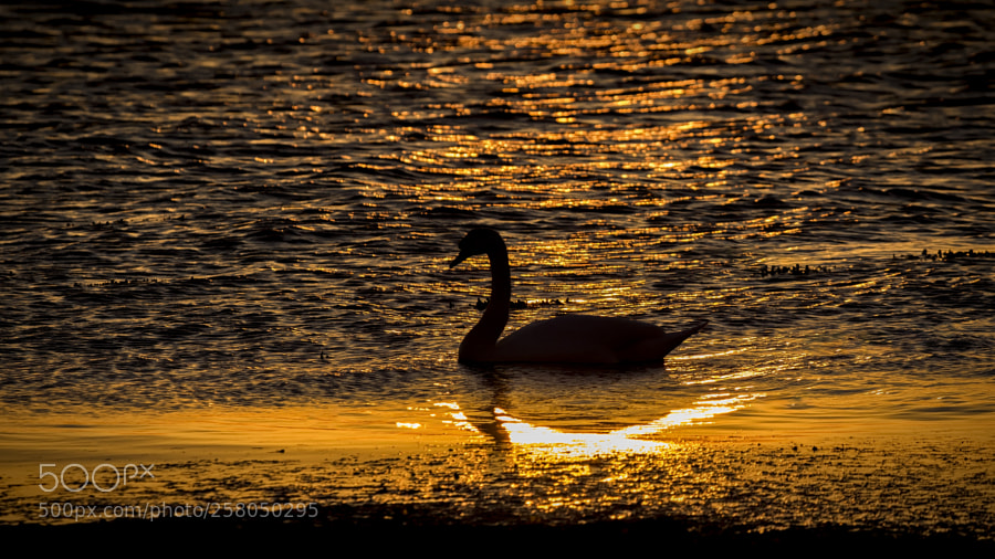 The swan glides in the evening light