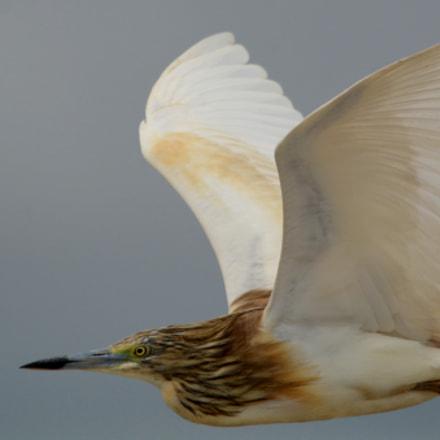 Squacco Heron, Nikon D7100