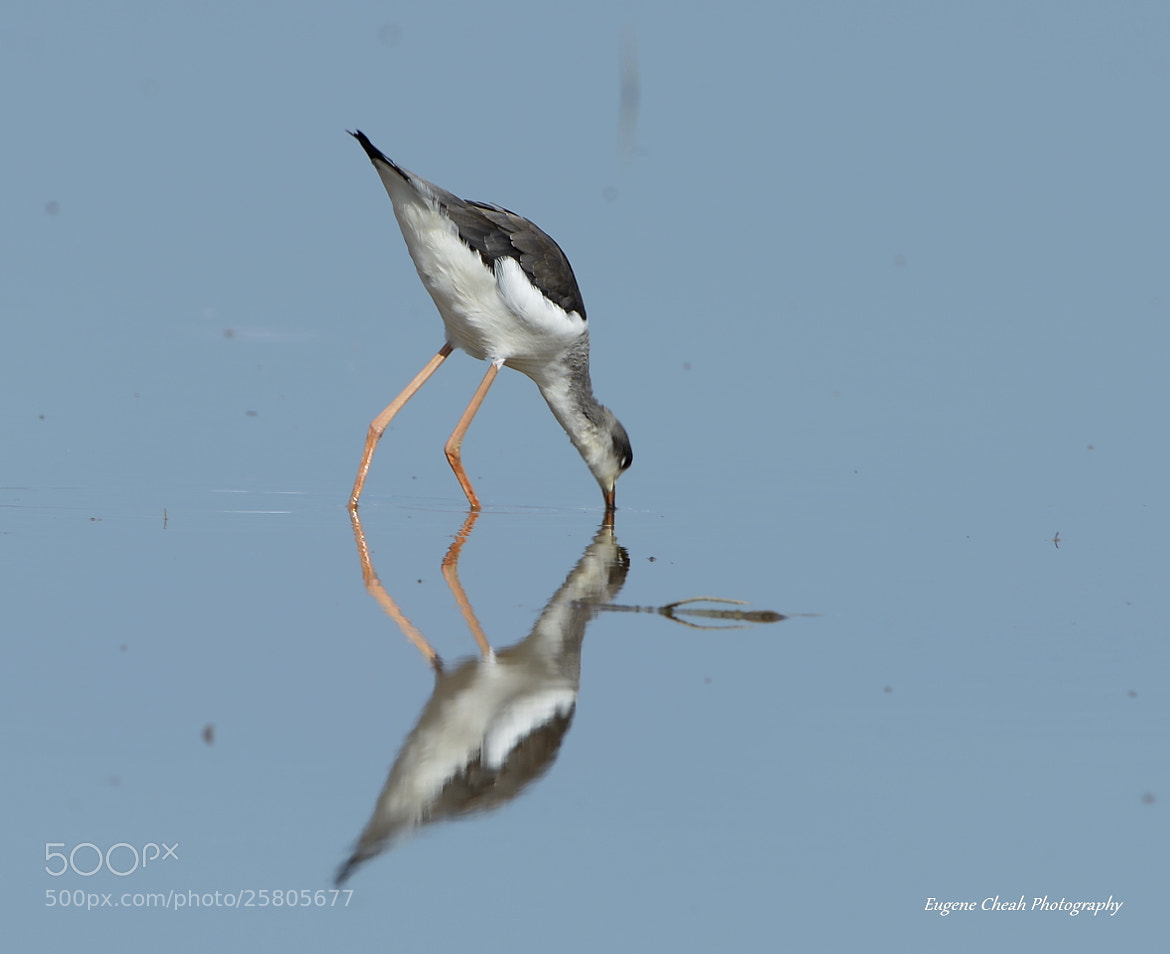 Photograph Black -winged stilt by Eugene Cheah on 500px