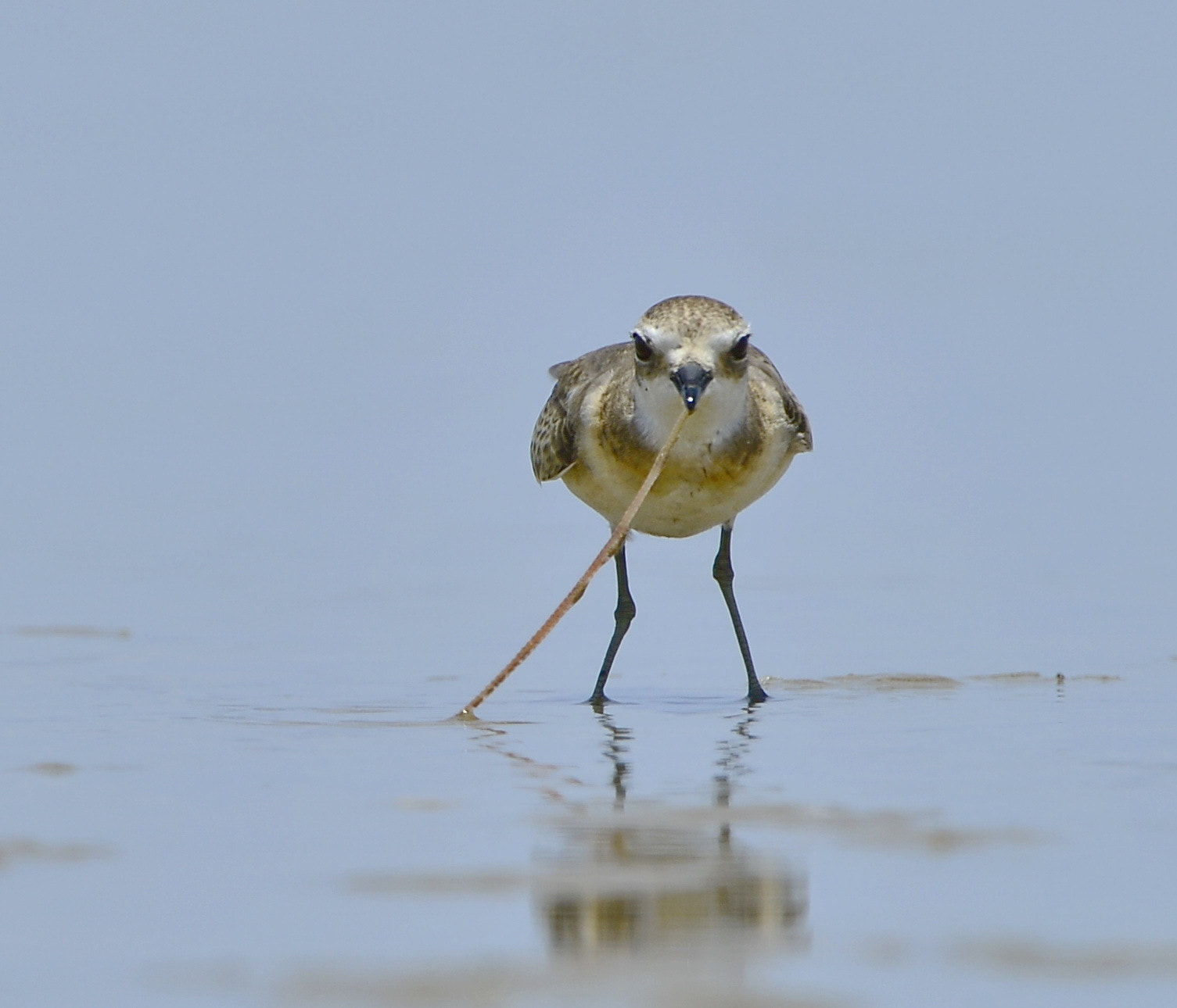Photograph Greater Sand Plover by Eugene Cheah on 500px